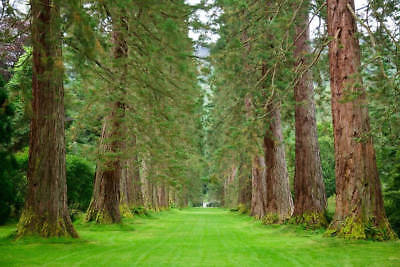 Giant Sequoia 10 Seeds giganteum One of Largest Oldest Living Things