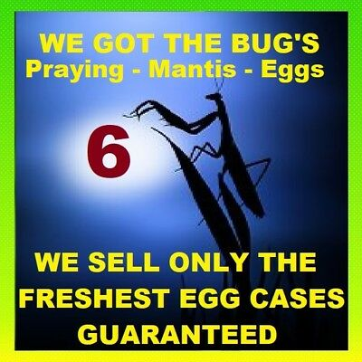 ⭐️⭐️⭐️⭐️⭐️ 6 Fresh LIVE PRAYING MANTIS CHINESE  EGG CASES OOTHECA PEST CONTROL🌼