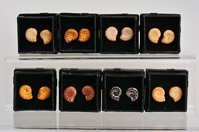 Superb AMMONITE EARRINGS Studs Fossil Ceramic Pottery GIFT Handmade