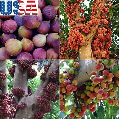 CLUSTER FIG 50 seeds HEIRLOOM NON-GMO Ficus racemosa - $1 50