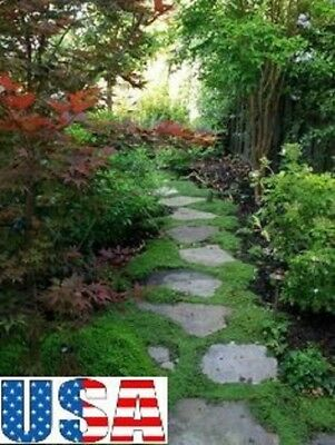 """(SHADE LAWN GROUND COVER)Dichondra 100, 500, 1000, 2000 seeds """"HEIRLOOM NON-GMO"""""""
