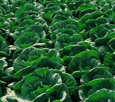 Amsterdam White Ballhead - VEGETABLE - CABBAGE 1100 SEEDS - POPULAR #11080
