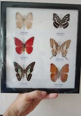 6 Real butterfly insect entomology moth framed taxidermy insect home Zoology
