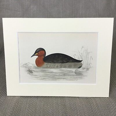 Antique Bird Print Hand Colored Dabchick Little Grebe Victorian Fine Art