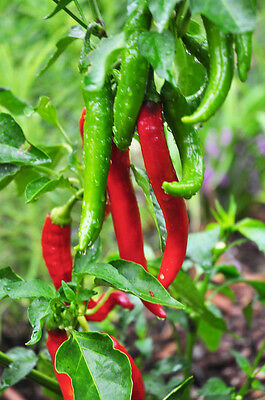"""Garden Salsa Pepper Plant - Two Live Plants -Each 4"""" to 7"""" Tall-In 3.5"""" Pots"""