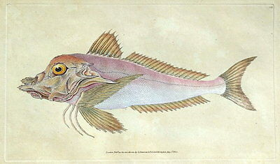 PIPER GURNARD  E.Donovan original hand coloured antique FISH print 1808