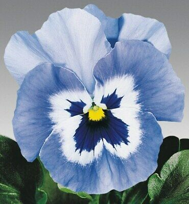 Pansy Joker Light Blue x 25 seeds, Excellent Bedding Plant, Fairy Flower Seeds