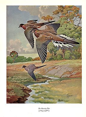 """1957 Vintage FRANCIS LEE JAQUES /""""GREENWING TEAL DUCK/"""" Color HUNTING Lithograph"""