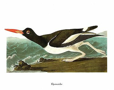 "1978 Vintage AUDUBON BIRDS /""BLACK-BILLED MAGPIE/"" Color Art JUMBO Lithograph"