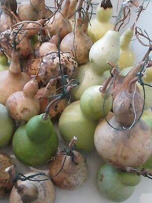 15 Mixed  Bottle Gourds Seeds -  For Crafts And Decorations - Grown In U.k