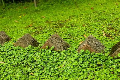 Dichondra Repens 300 Seeds - No Mow Lawn -Soft, Intensive Green, Fill Spaces