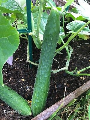RARE✿ Japanese Long Cucumber 10 Seeds ●Prolific ●Great Flavor