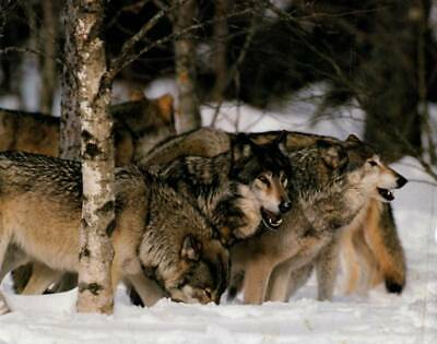 Wolf Pack in Snow - 8x10 Art Print - Ready to Frame