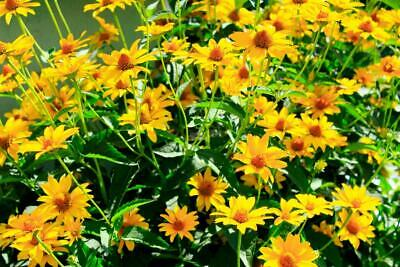 Heliopsis 'New Hybrids' Seeds