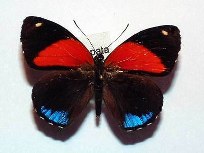 CALLICORE EUNOMIA - FORM HADES - unmounted butterfly