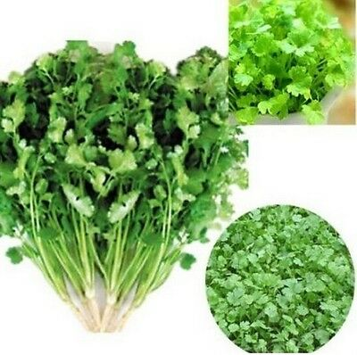 FD851:) CILANTRO CORIANDER Coriandrum Sativum Herb Vegetables Spices Seeds 100PC