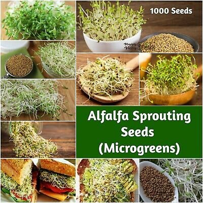 ALFALFA 1000+ Seeds 'Sprout' Sprouts Sprouting MICROGREENS DELICIOUS NUTRICIOUS