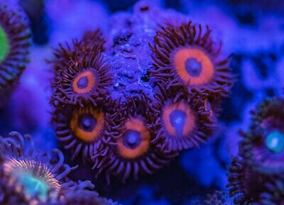 Pumpkin Seeds Zoa Zoanthid Palythoa 7 Polyp Frag Soft Marine Coral