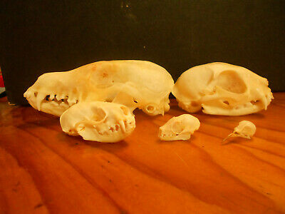 Animal skull Collection taxidermy art ,real bone,5 different skulls