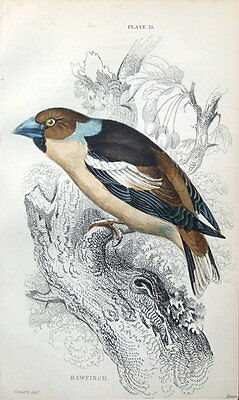 HAWFINCH Jardine hand coloured antique bird print 1838