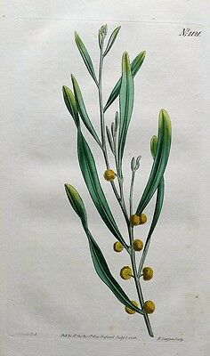 TWIN FLOWERED MIMOSA Curtis Original Hand Coloured Antique Botanical Print 1808