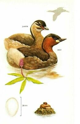 LITTLE GREBE -BRITISH BIRDS vintage1970's bookprint TIM HAYWARD