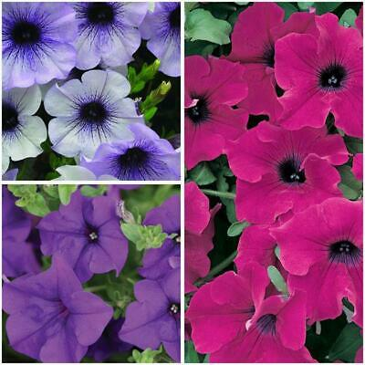 Pack x12 Surfinia Trailing Petunias 'Mixed' Summer Garden Plug Plants