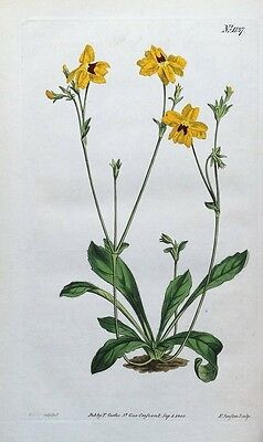 YELLOW GOODENIA TENELLA Curtis Hand Coloured Antique Botanical Print 1808