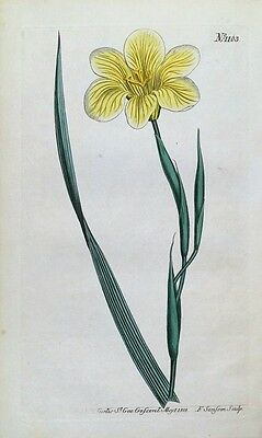 STRAW COLOURED MORAEA Curtis Original Hand Coloured Antique Botanical Print 1808