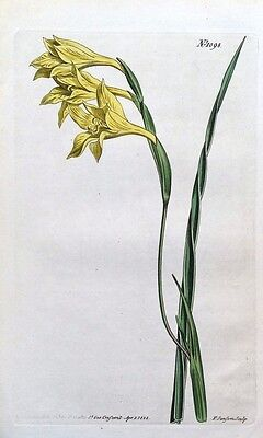 GLADIOLUS YELLOW CORN FLAG Curtis Hand Coloured Antique Botanical Print 1808