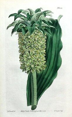 EUCOMIS HYACINTH PINEAPPLE LILY Curtis Hand Coloured Antique Botanical Print1808