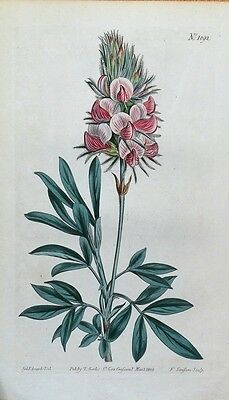 CRETAN KIDNEY VETCH Curtis Original Hand Coloured Antique Botanical Print 1808