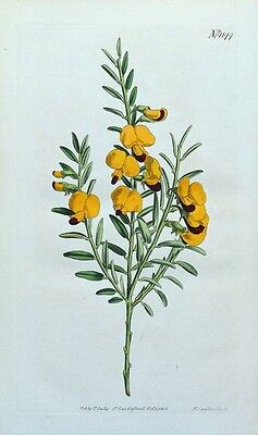 NARROW LEAVED BOSSIAEA Curtis Hand Coloured Antique Botanical Print 1808