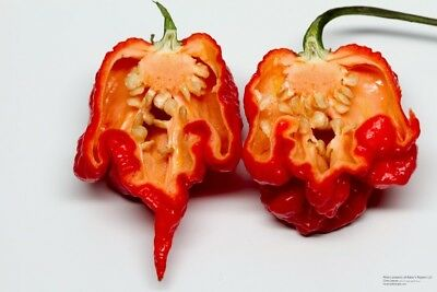 15 Semi Di Peperoncino Carolina Reaper Red