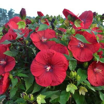 "bush hibiscus VINTAGE WINE hardy red perennial 2.5"" pot = 1 Live Potted Plant"