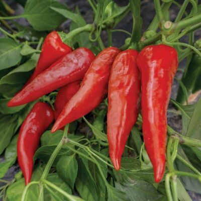 Chilli BIG JIM 15+ Seeds MILD HOT LARGE chili STUFFING pepper Vegetable Garden