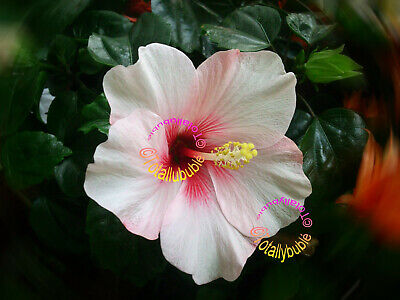 BOUTURE CUTTING HIBISCUS rosa sinensis Fire Storm