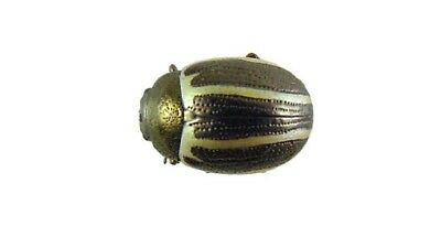 Coleoptera Chrysomelidae Zygogramma suturalis 6mm Russia Dried Insect Beetle