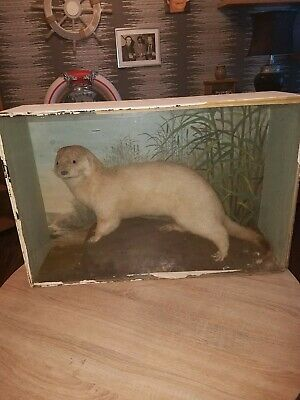 RARE!! Beautiful Large Antique Taxidermy Albino Otter by B HIGGS