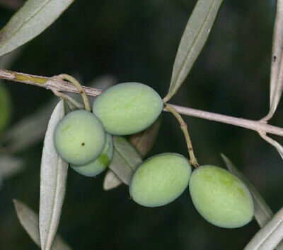 Olea europea - OLIVE TREE - 25 seeds - Excellent for Bonsai #11252