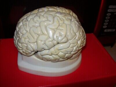 Vintage Human BRAIN Model Anatomy Teaching Tool Made in West Germany 7 x 4.5
