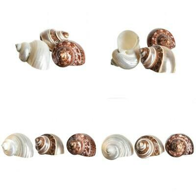 Hermit Crab Home Turbo Shell | 3 Pack Shells, Brown, Banded, Gold Mouth Turbos