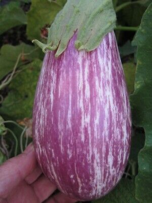 EGGPLANT Listada Di Gandia 25 seeds Italian Heirloom vegetable garden ORGANIC