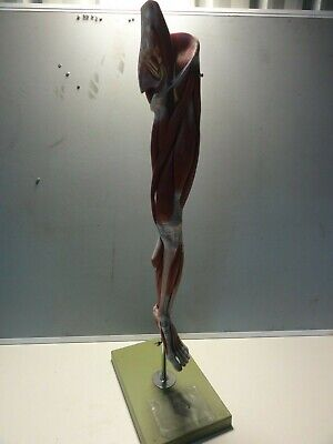 Full Size Female Human Anatomical Muscular Leg Model On Stand 1100Mm High