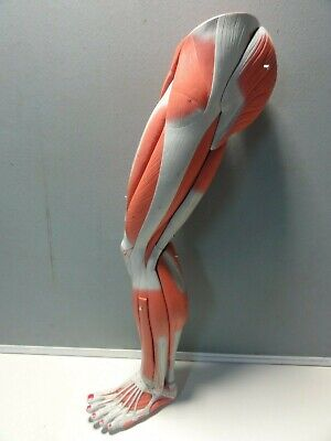 Female Human Anatomical Muscular Leg Model ( No  Stand ) 750Mm High
