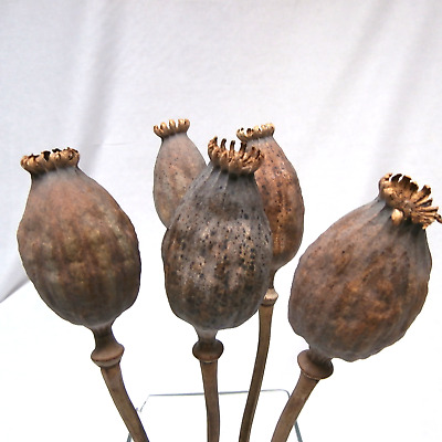 Dried Poppy Pods Poppy Heads Large Poppy Papaver Natural Poppy Seed Heads