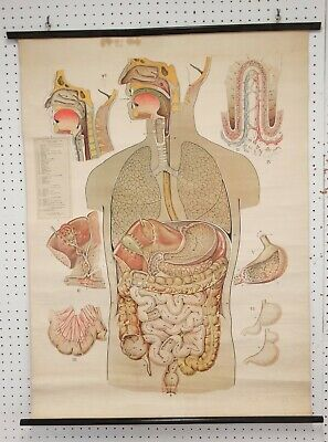 1940 Vtg BIOLOGY Wall CHART Pull Down DIGESTIVE SYSTEM Rudolph Schick