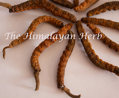 Wild Himalayan Yarsha Gumba Or Cordyceps Sinensis Large Pieces (May 2019)