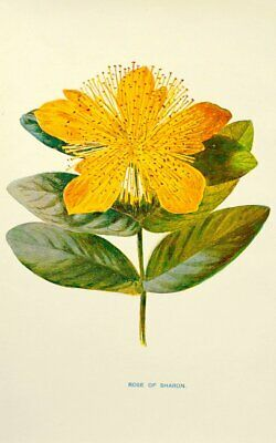 ROSE OF SHARON - FLOWER FLORAL ANTIQUE BOTANICAL PRINT by HULME IN IVORY MOUNT 1