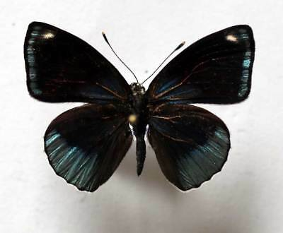 CALLICORE DISCREPANS - unmounted butterfly